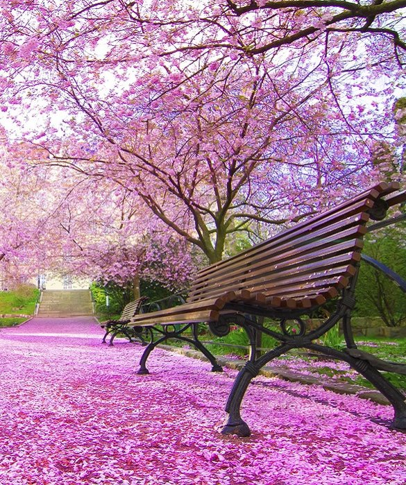 What a beautiful park covered in elegant cherry blossoms! 6-202581-japan-cherry-blossom-1520867395