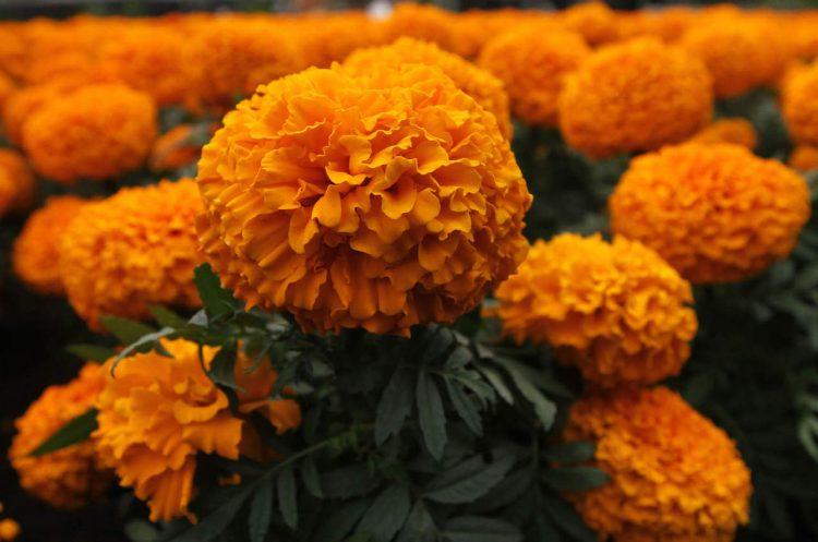 *Azucar arregla flores de cempasúchil en el Fallen Ones Memorial.* 998910